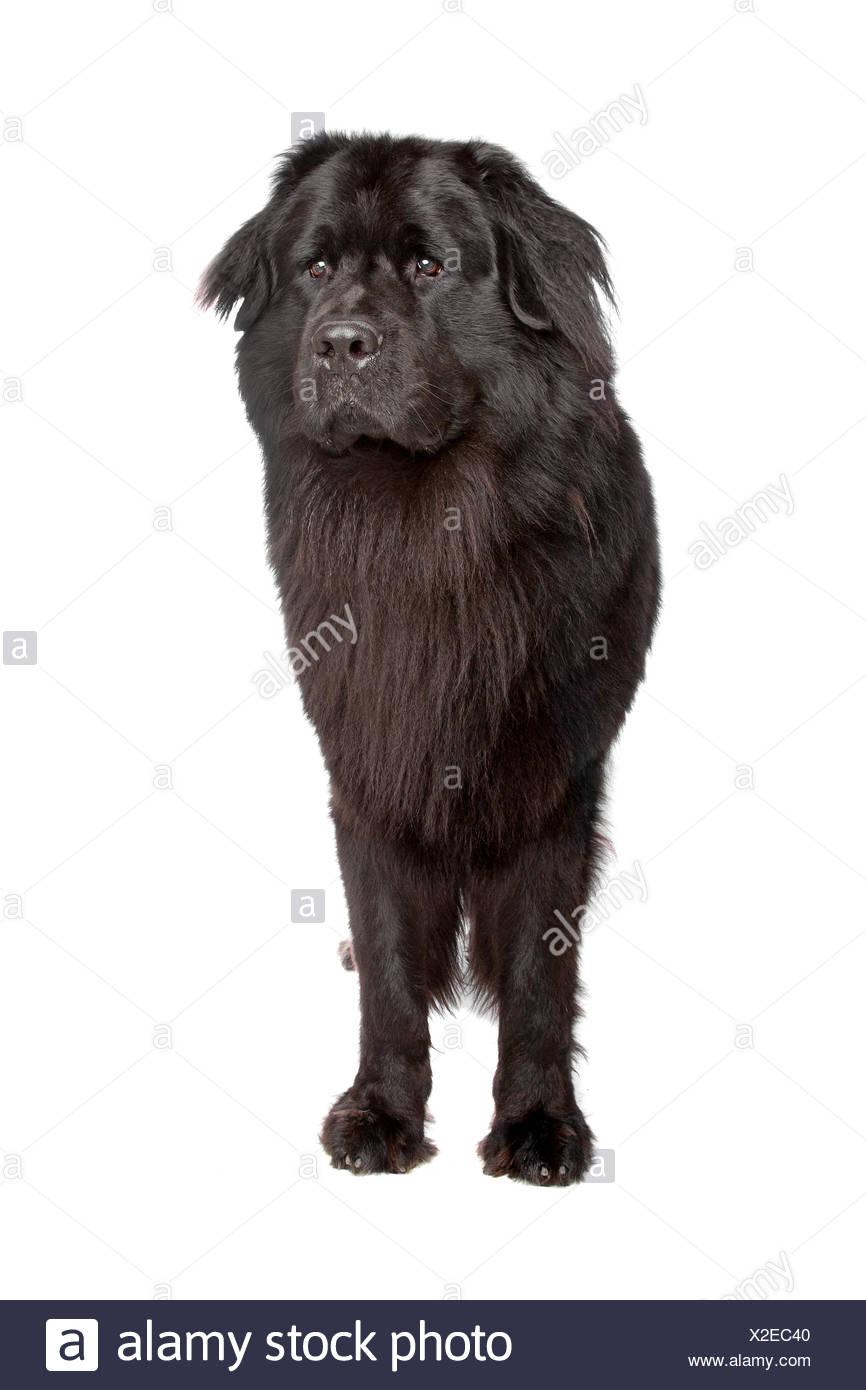 Newfoundland dog - Stock Image