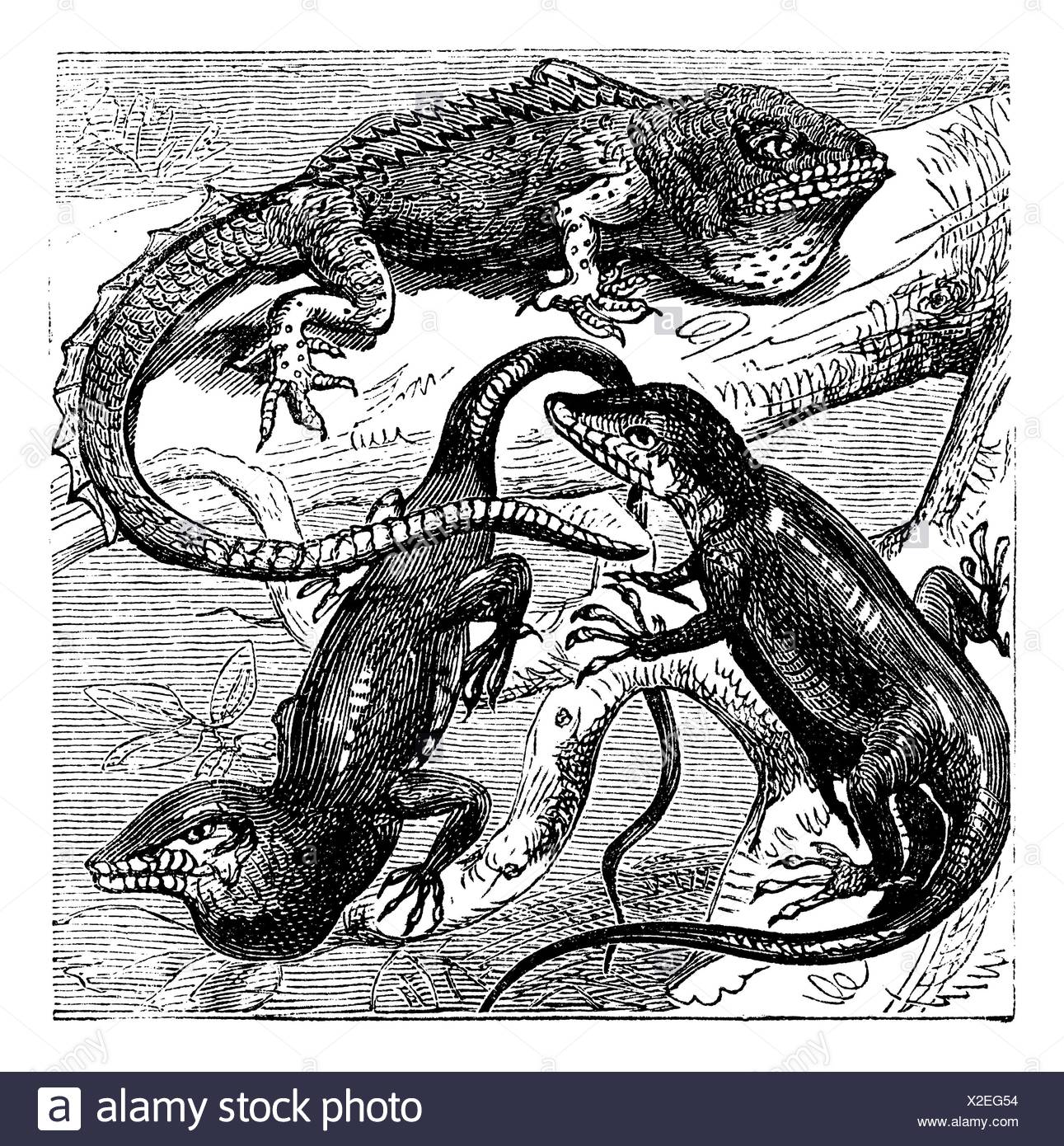 Green, red-throated and crested Anolis lizards vintage engraving  Old engraved illustration of the three species of the 1100 of different anolis - Stock Image
