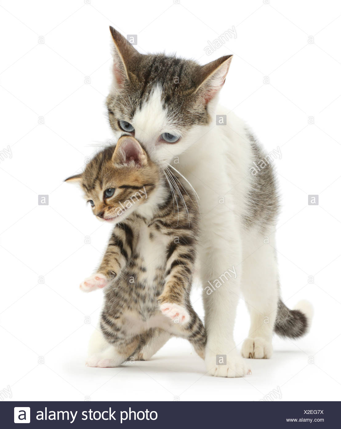 Tabby-and-white Siberian-cross mother cat carrying her tabby kitten, 4 weeks. - Stock Image
