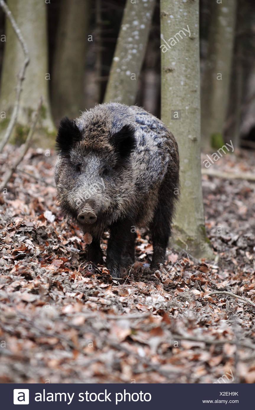 wild boar pig proboscis Stock Photo