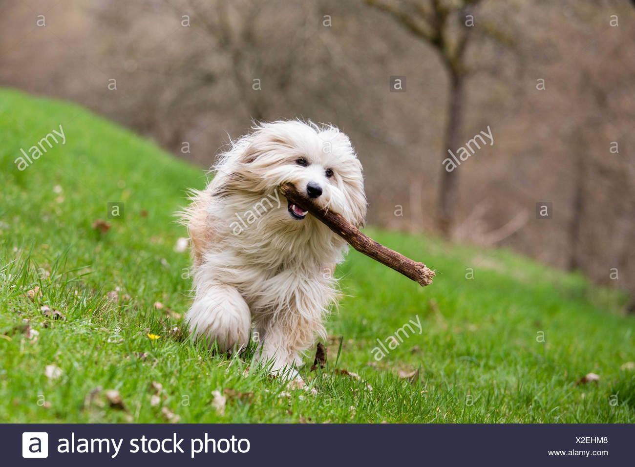 Tibetan Terrier, Tsang Apso, Dokhi Apso (Canis lupus f. familiaris), ten month old bright sable and white male running over a meadow with a stick in its mouth, Germany - Stock Image