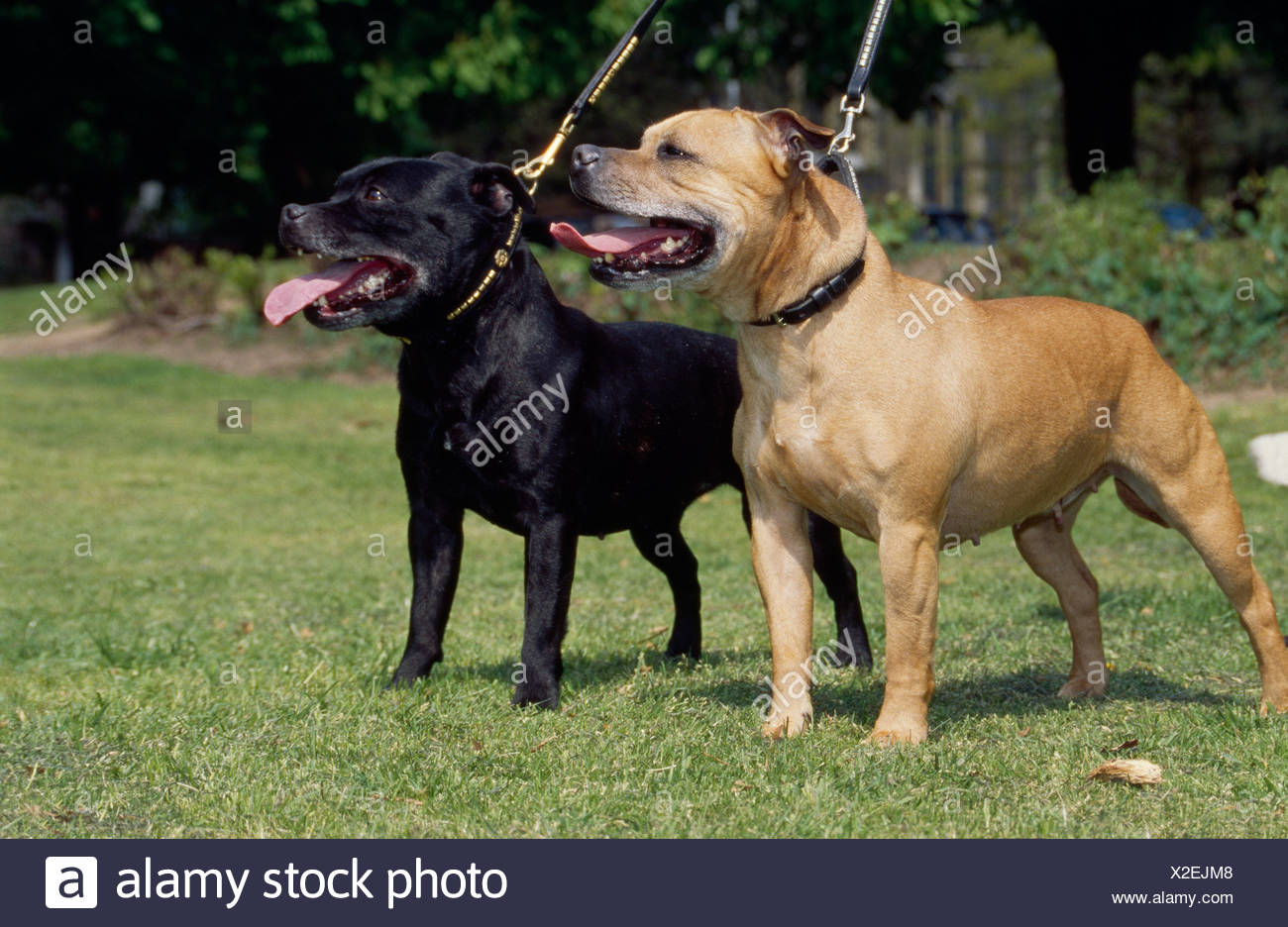 STAFFORDSHIRE BULL TERRIERS OUTSIDE ON LEASHES/ ENGLAND - Stock Image