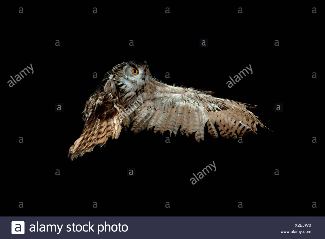 European Eagle Owl Bubo bubo KENT UK flying taking off high speed photographic technique - Stock Image