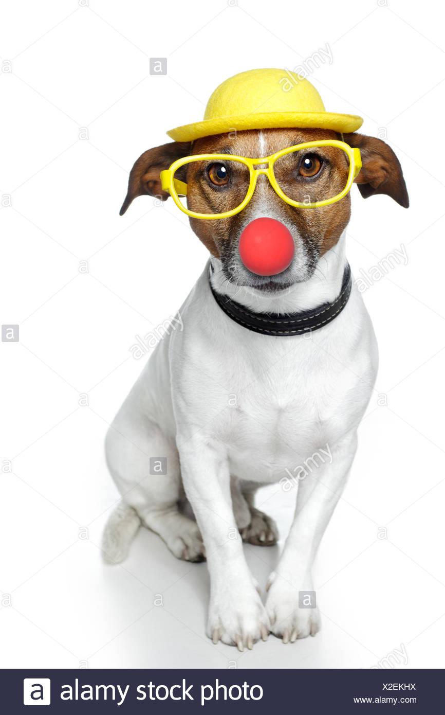 funny dog nose hat glasses - Stock Image