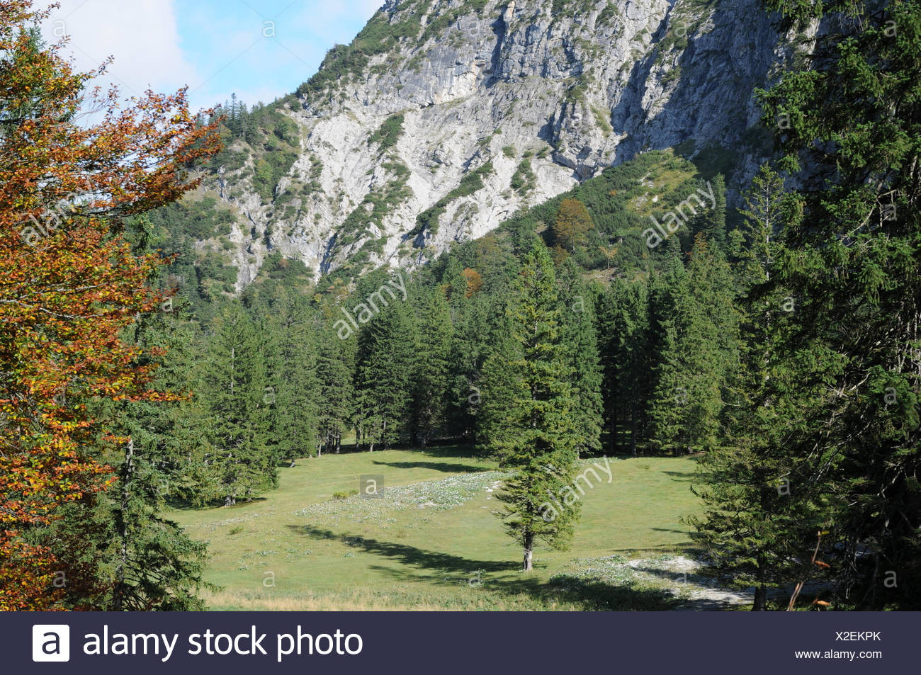 Spruces - Stock Image