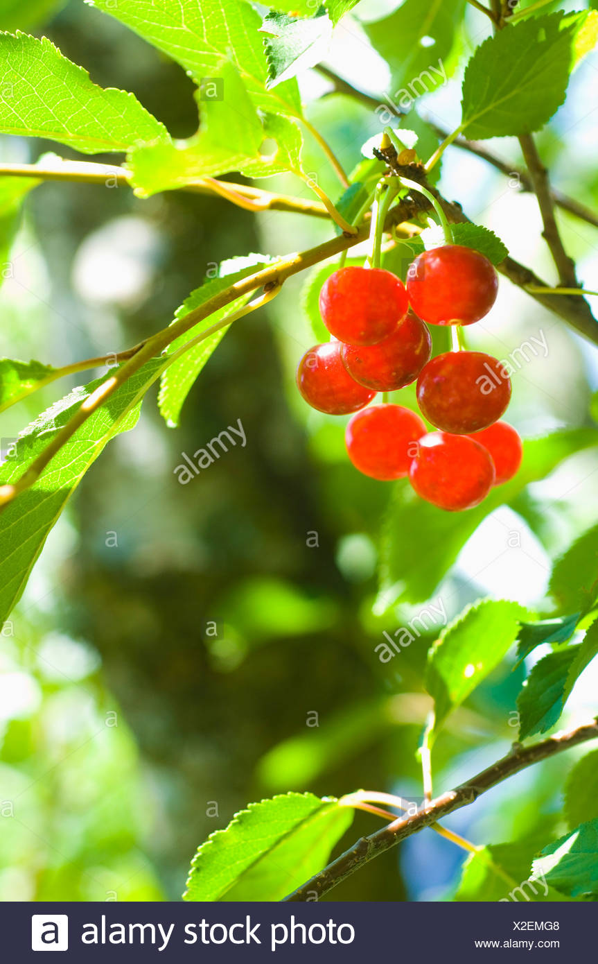 Wild cherries on the tree - Stock Image