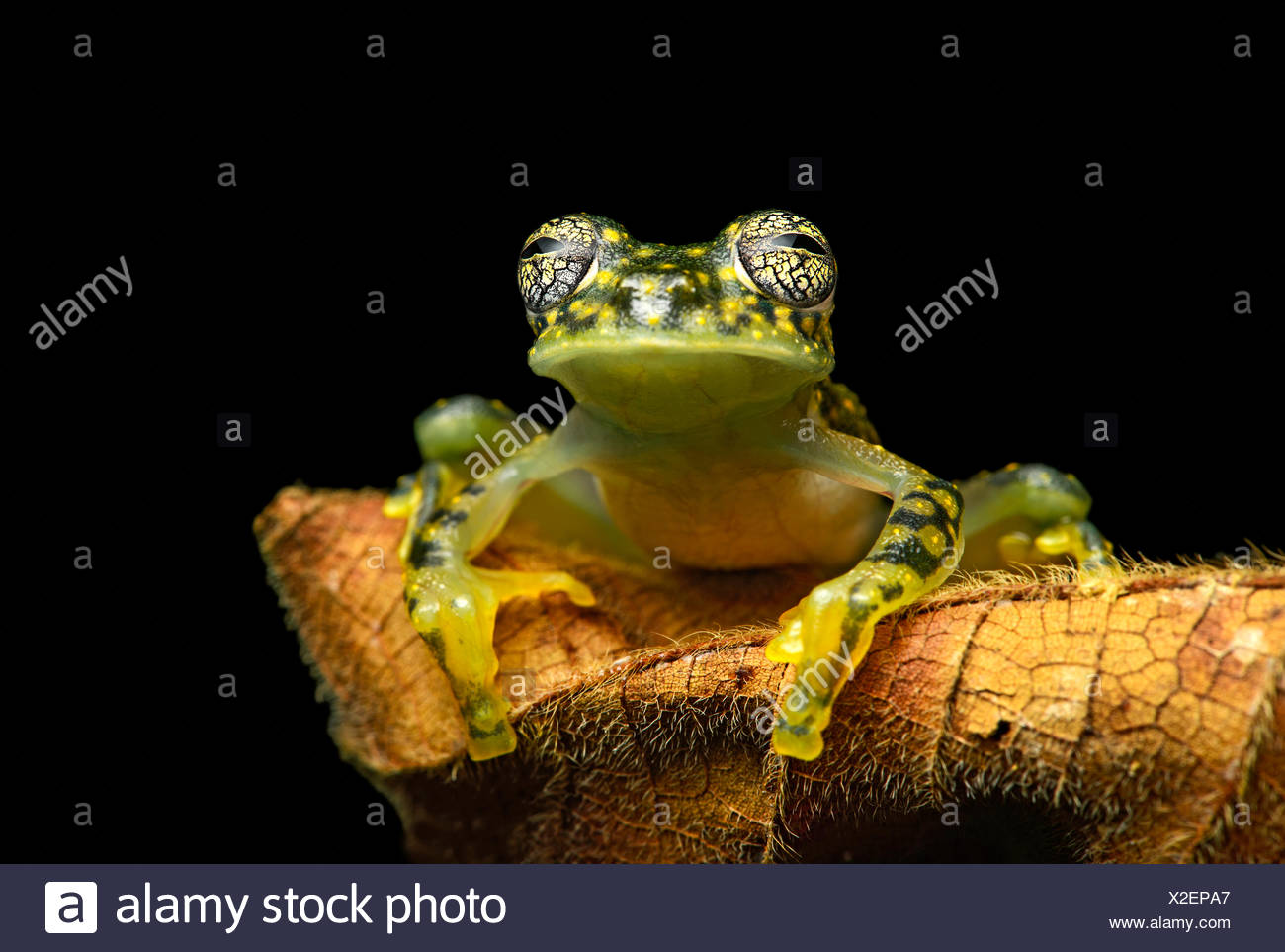 White-spotted Cochran Frog (Sachatamia albamoculata) sitting on leaf, Choco rainforest, Canande River Nature Reserve, Ecuador - Stock Image