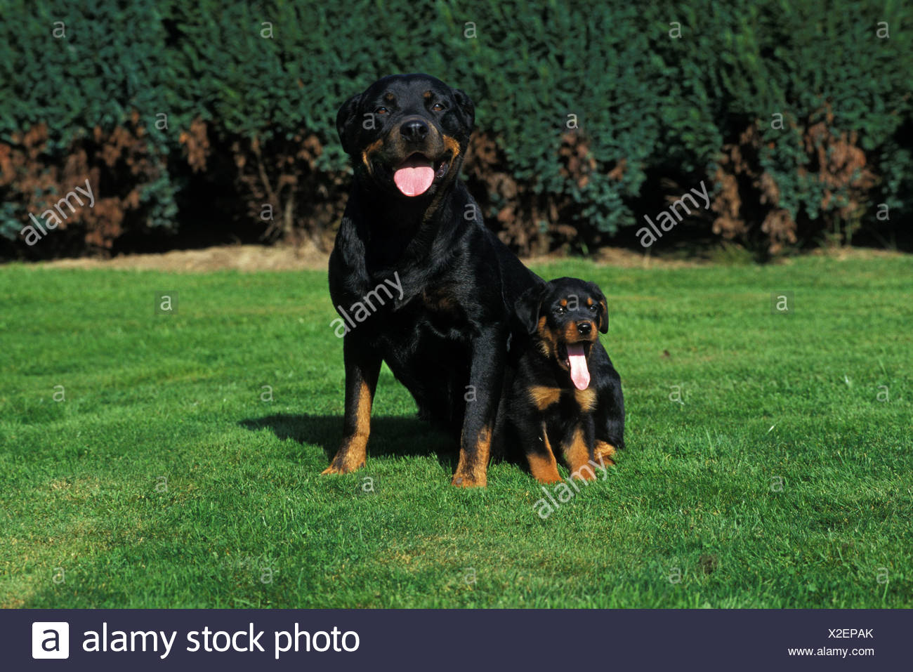 Dog Rottweiler Puppy Breed Outside Outdoors Outdoor Pet Young Baby