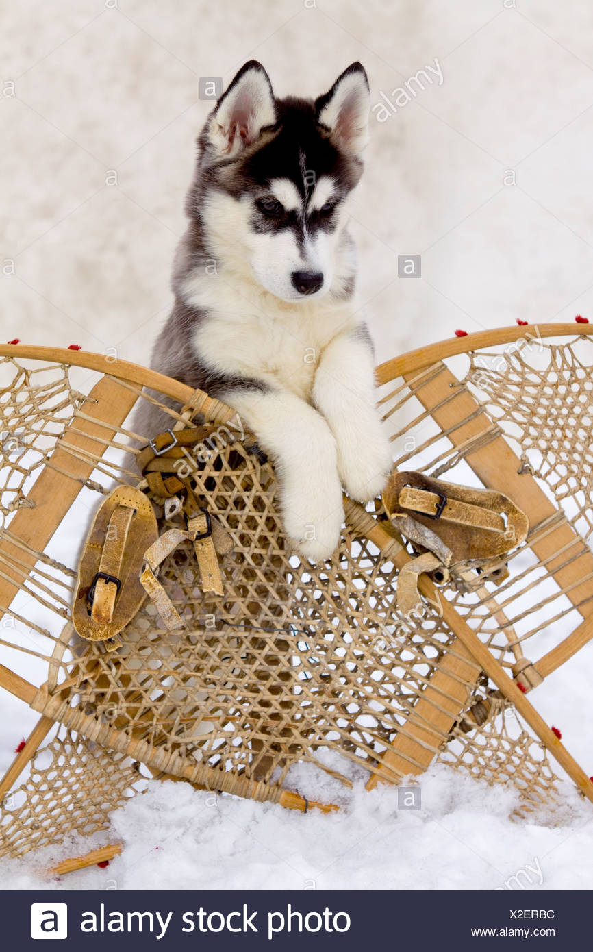 Siberian husky pup leans over a pair of crossed wooden snowshoes during Winter, Alaska - Stock Image
