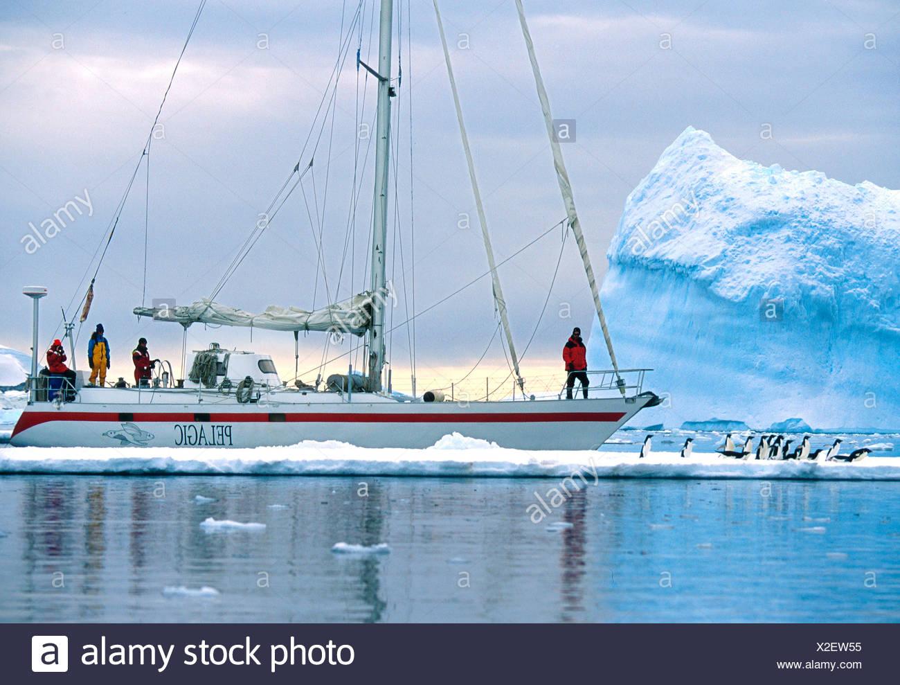 The Yacht Pelagic sails past penguins in Antartica - Stock Image