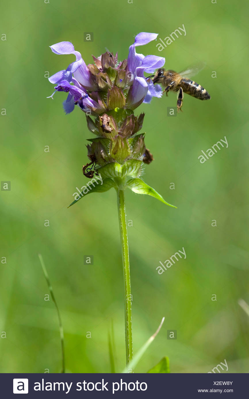 Large self-heal, Prunella loveliness (Prunella grandiflora), inflorescence with bee, Switzerland - Stock Image