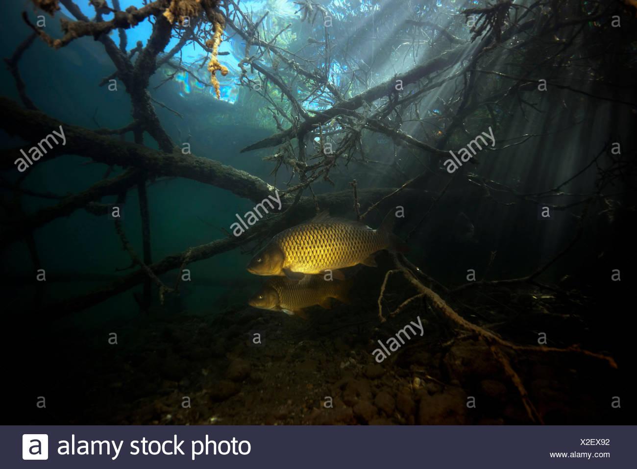 Europäischer Schuppenkarpfen; Karpfen im Uferbereich, Weissensee; Kärten; Österreich; Fisch | Common carp; freshwater; european carp; fish | Cyprinus  - Stock Image