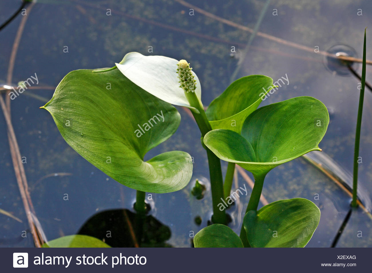 bog arum, wild calla (Calla palustris), blooming, Germany - Stock Image