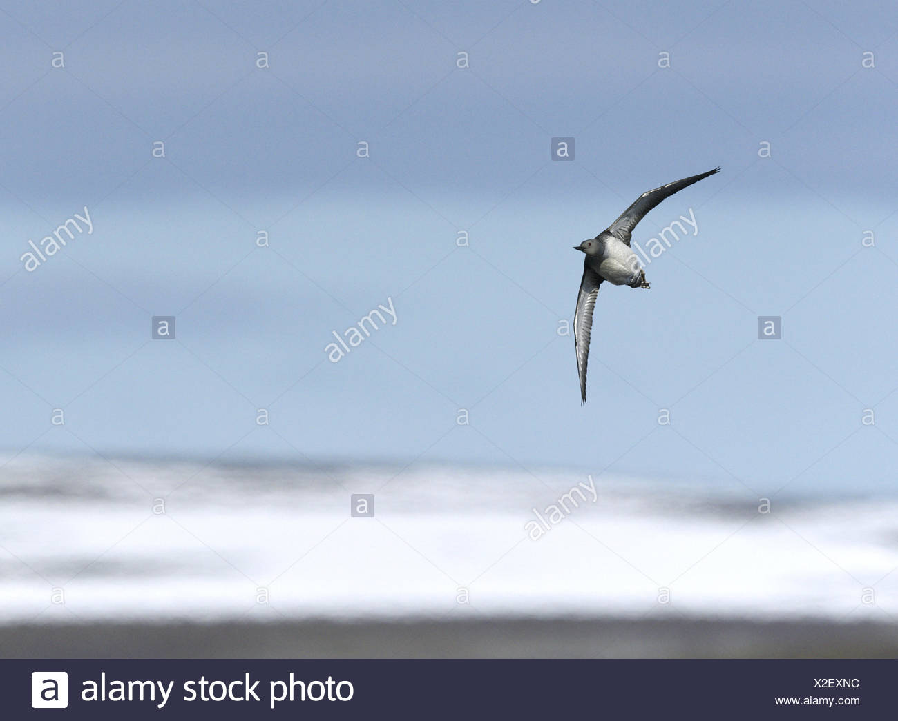 Red-throated Diver - Gavia stellata - Stock Image