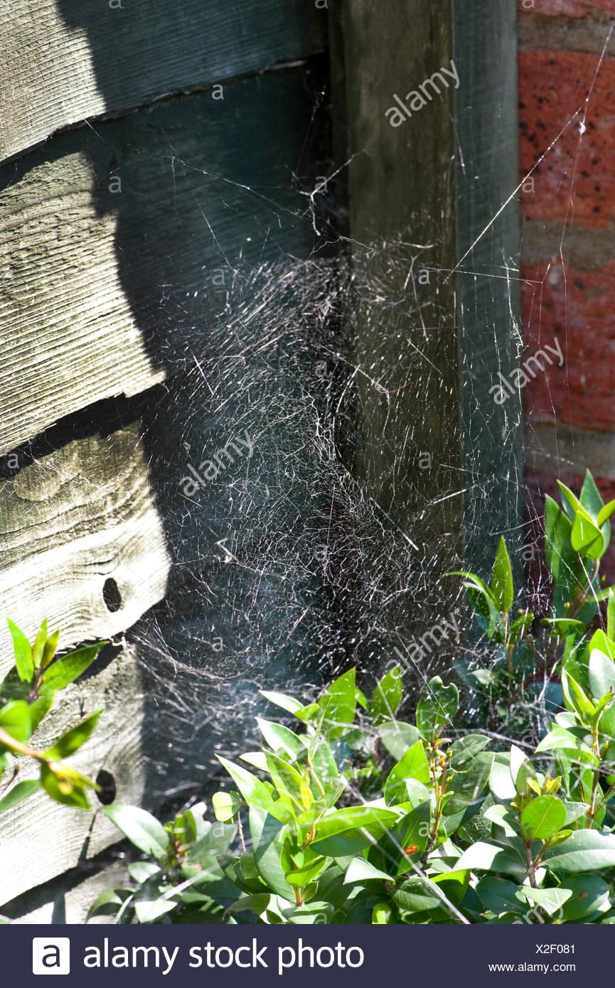 Spiders web, Theridiidae species, Kent UK - Stock Image