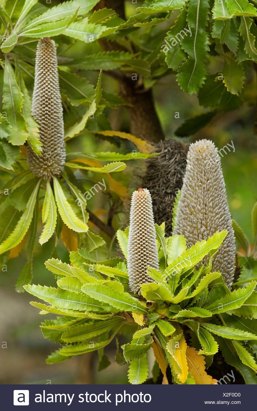 Saw Banksia or Old Man Banksia (Banksia serrata) - Stock Image