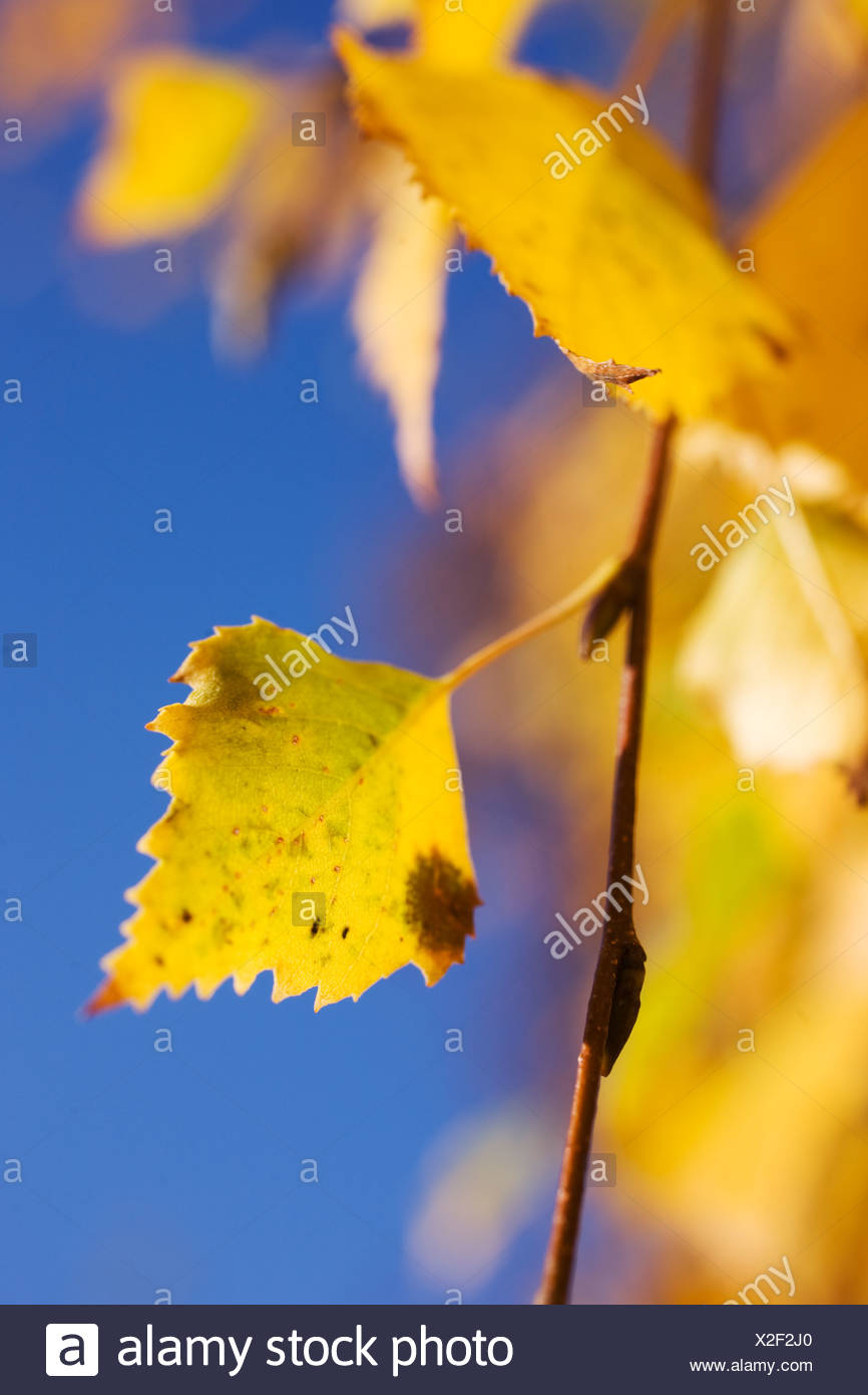 Autumn leaves against a blue sky, Sweden. Stock Photo