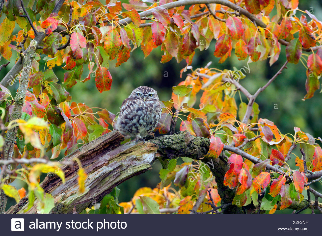 little owl (Athene noctua), sitting on an old branch, Germany, North Rhine-Westphalia Stock Photo
