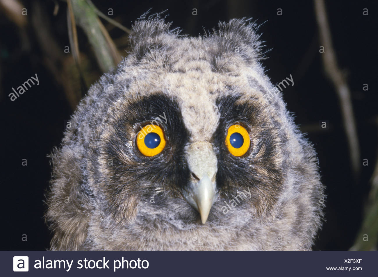 Waldohreule, Lond-eared Owl, asio otus Stock Photo