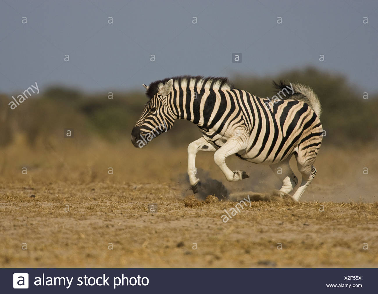 Zebra displaying, Etosha National Park, Namibia. - Stock Image
