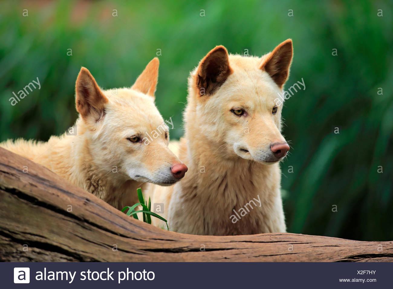 Dingoes (Canis familiaris dingo), Australia - Stock Image