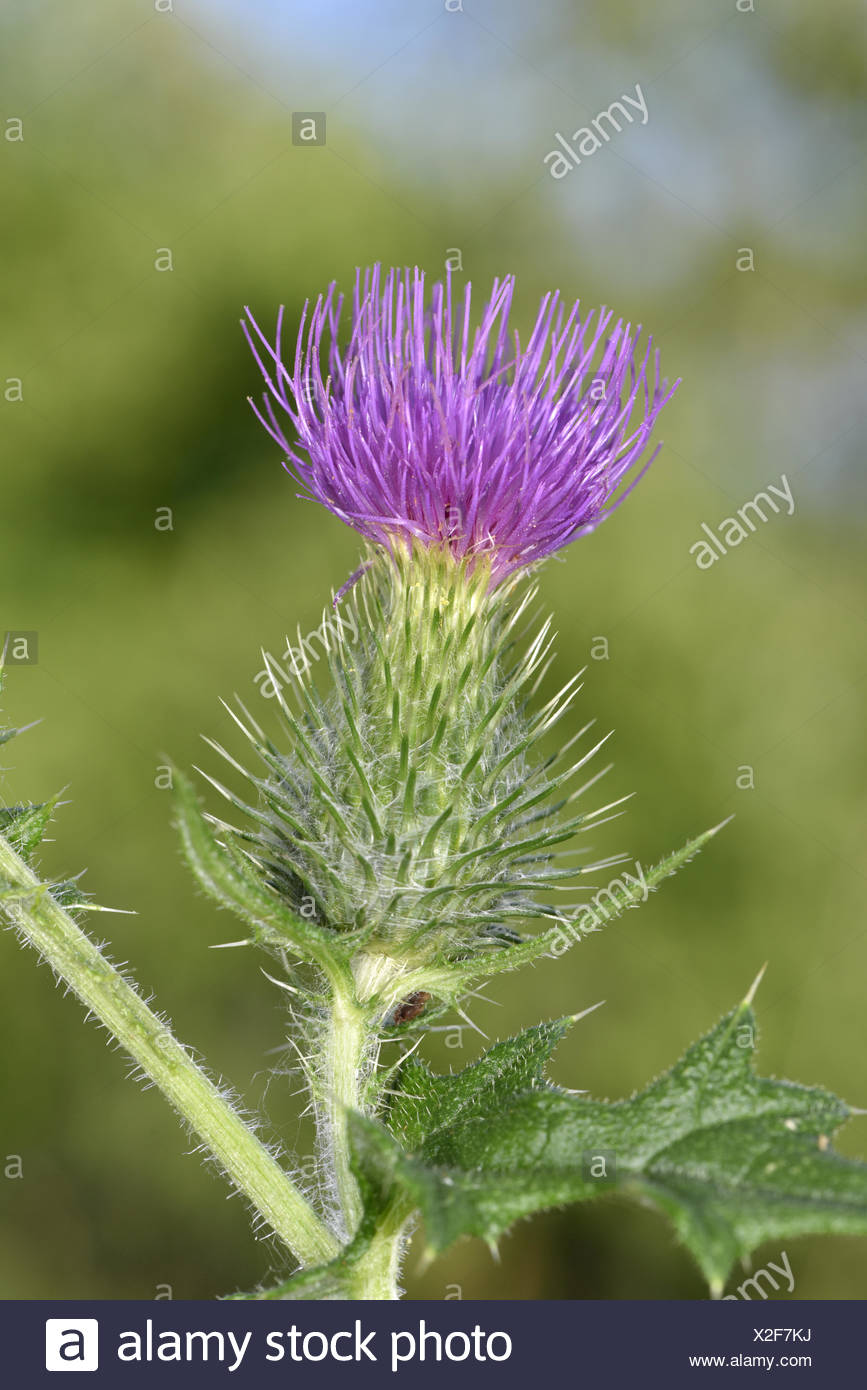 Spear Thistle - Cirsium vulgare - Stock Image