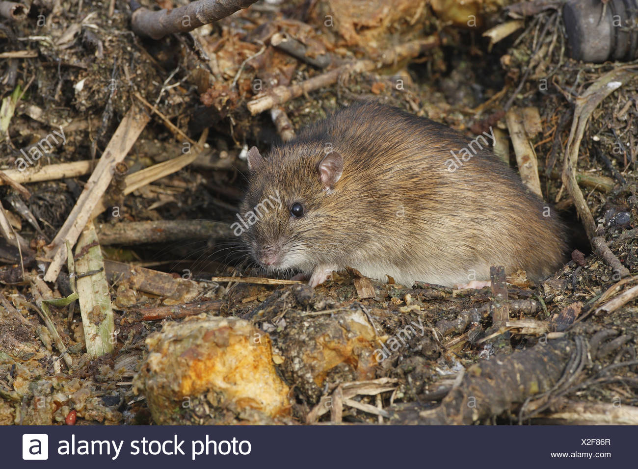 Brown Rat leaving its hole in a staple of rotten fruit - Stock Image