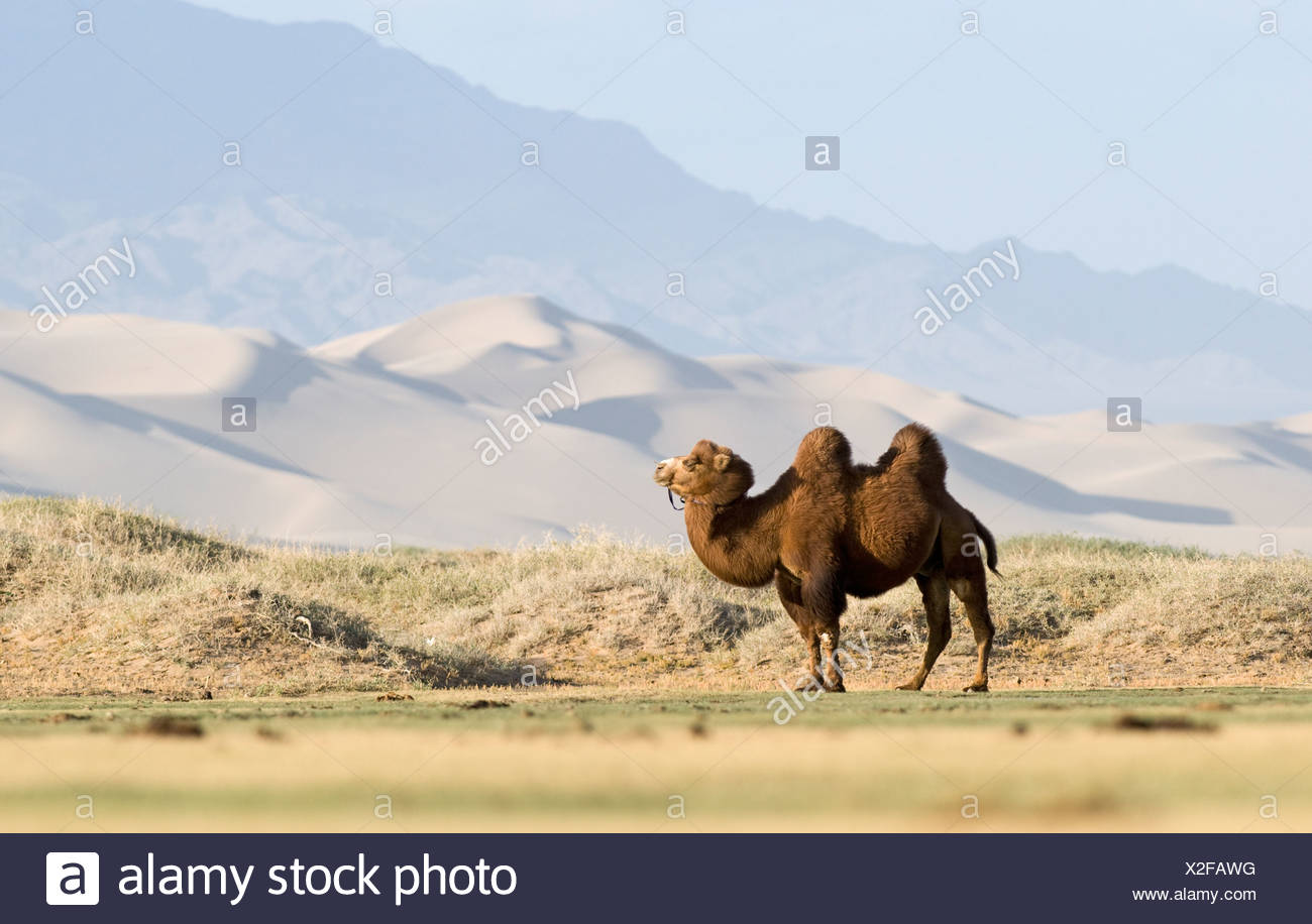 Bactrian Camel Camelus batrianus at the base of Khongoryn Els sand dunes in southern Gobi Desert Mongolia winter - Stock Image