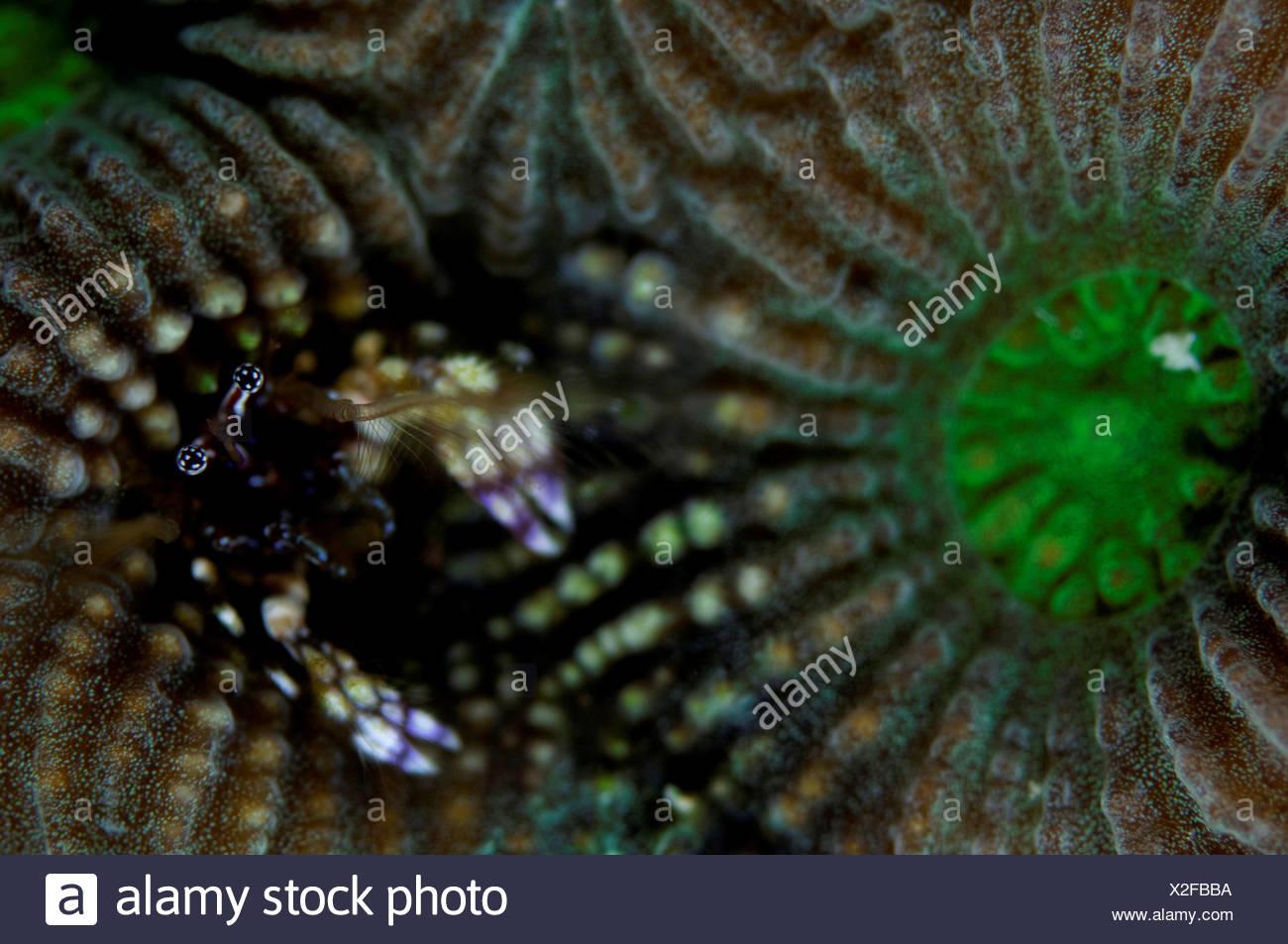 Coral hermit crab (Paguritta harmsi) living in hard coral, Gaafu Alifu Atoll, Maldives Stock Photo