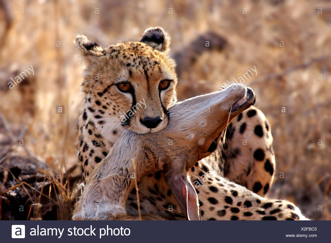 cheetah with prey,wildlife - Stock Image