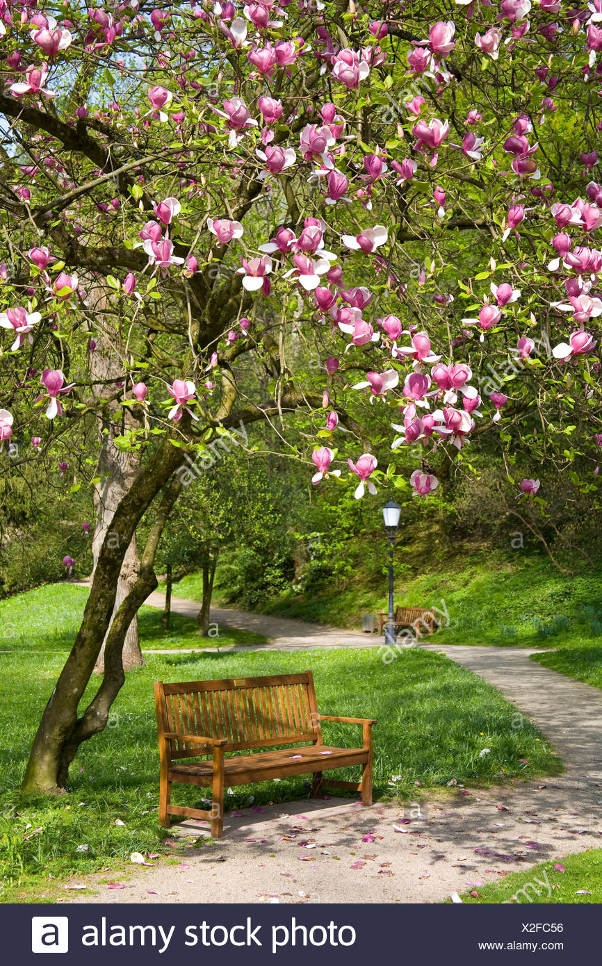 saucer magnolia (Magnolia x soulangiana, Magnolia soulangiana, Magnolia x soulangeana, Magnolia soulangeana), park bench standing under a saucer magnolia, Germany, Baden-Wuerttemberg, Baden-Baden - Stock Image