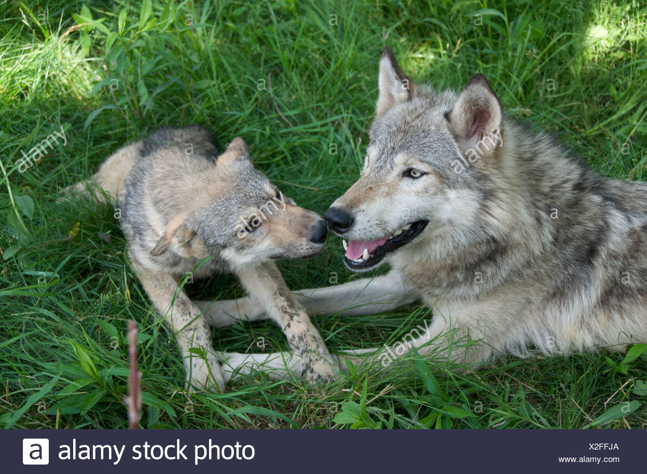 Wolf Pup and parent (Canus lupus) lying in grass in  Boundary Waters Canoe Area, Minnesota, USA, North America - Stock Image