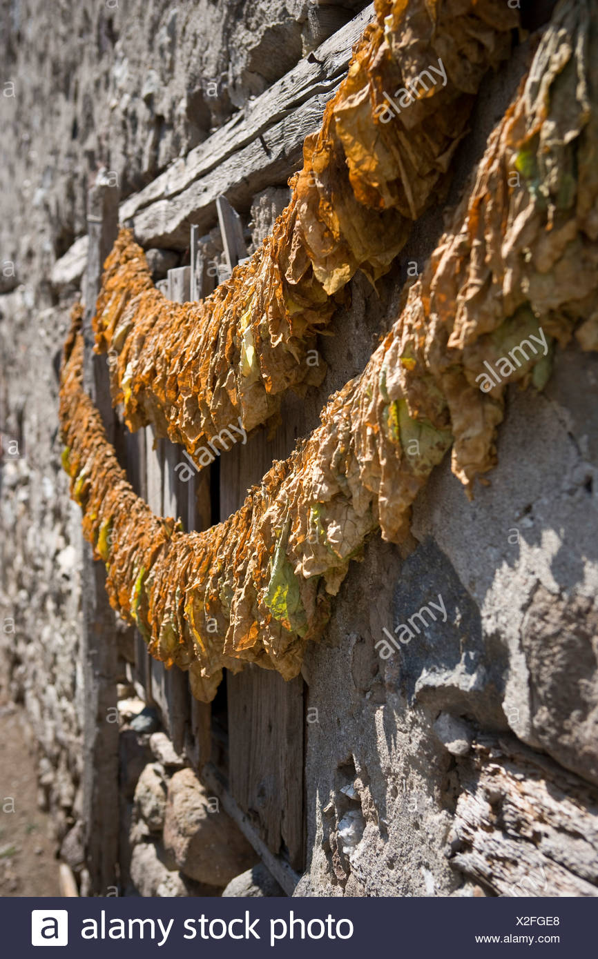 Tobacco leaves hung to dry - Stock Image