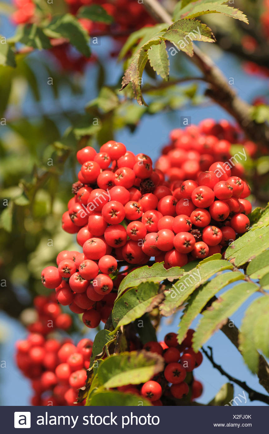 What are the useful properties of mountain ash used for medicinal purposes
