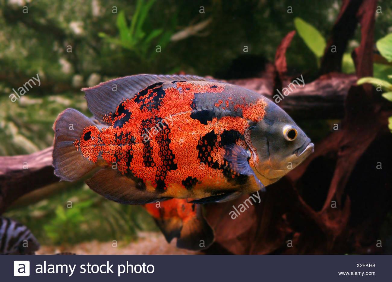 Oscar Fish Stock Photos & Oscar Fish Stock Images - Alamy