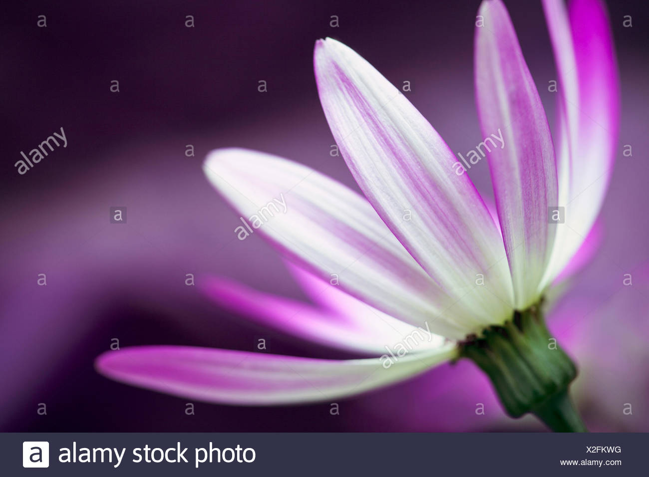 Cineraria, Pericallis x hybrida Senetti baby Magenta Bicolor 'Sunseneribuba', Close side view of one pink flower with white streaks. - Stock Image