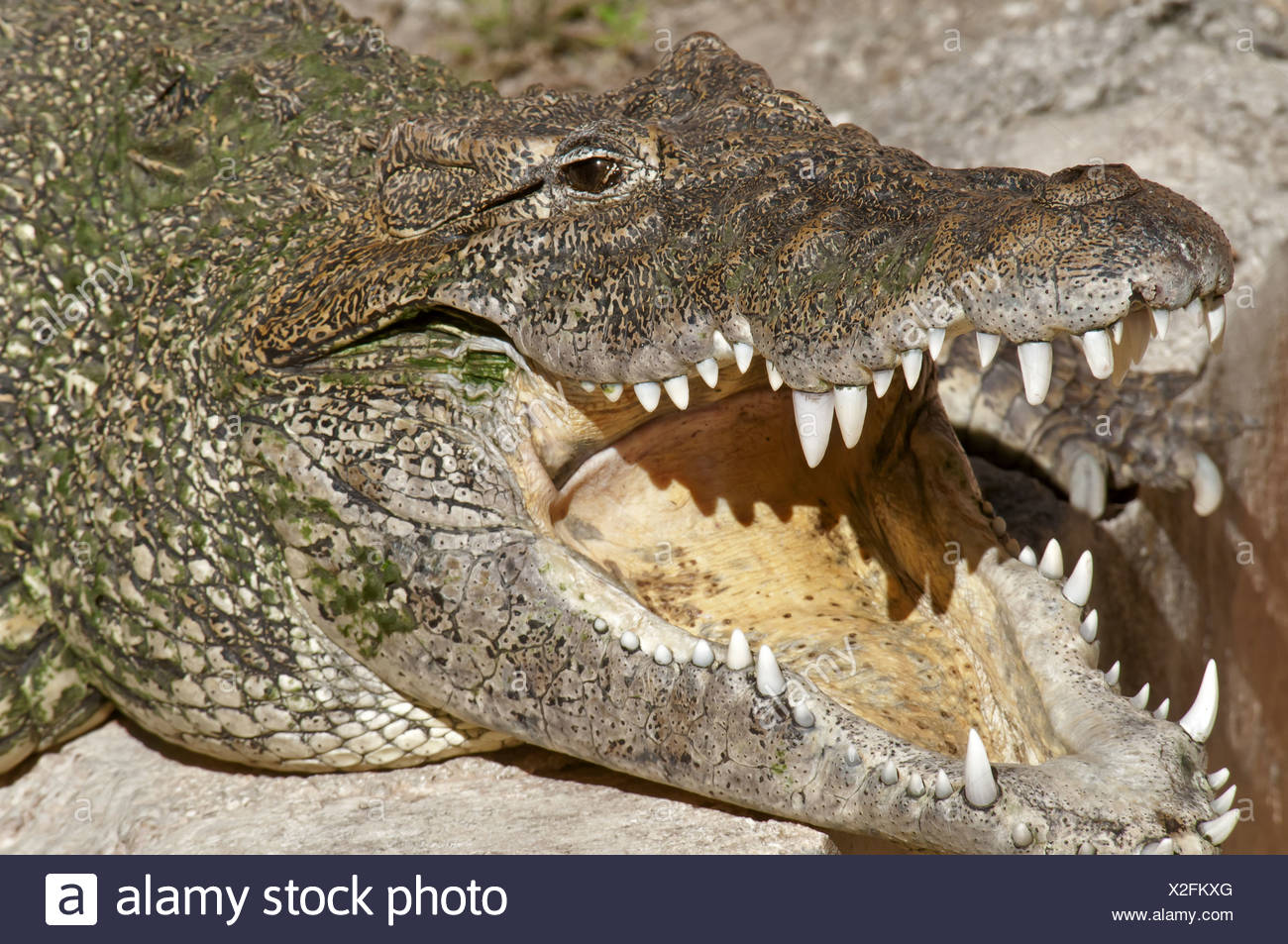 Cuban Crocodile (Crocodylus rhombifer) adult, with mouth open, close-up of head (captive) Stock Photo