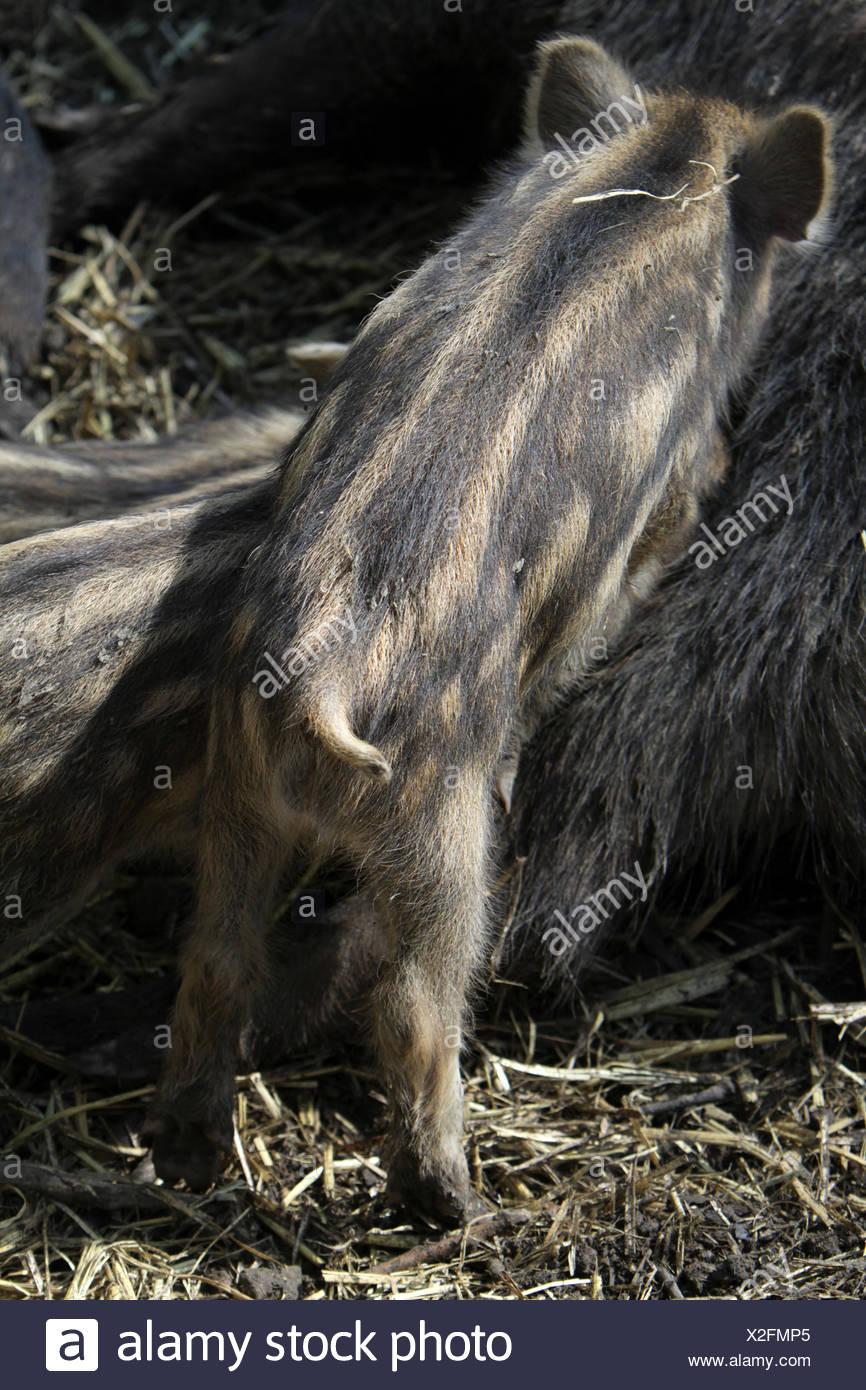 Wildschweine Frischlinge - Stock Image