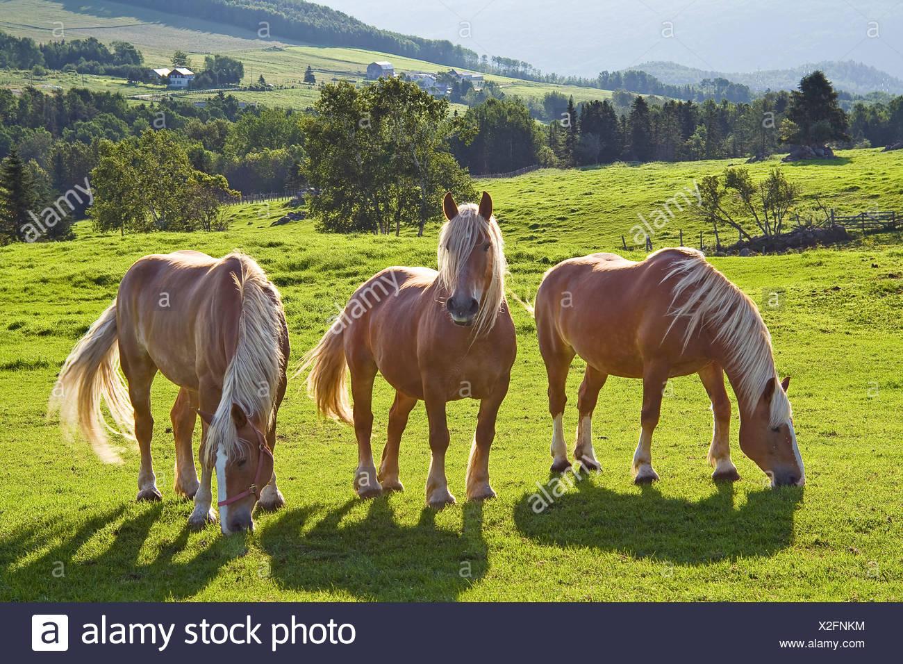 Three Belgian American draft horses in a pasture. - Stock Image