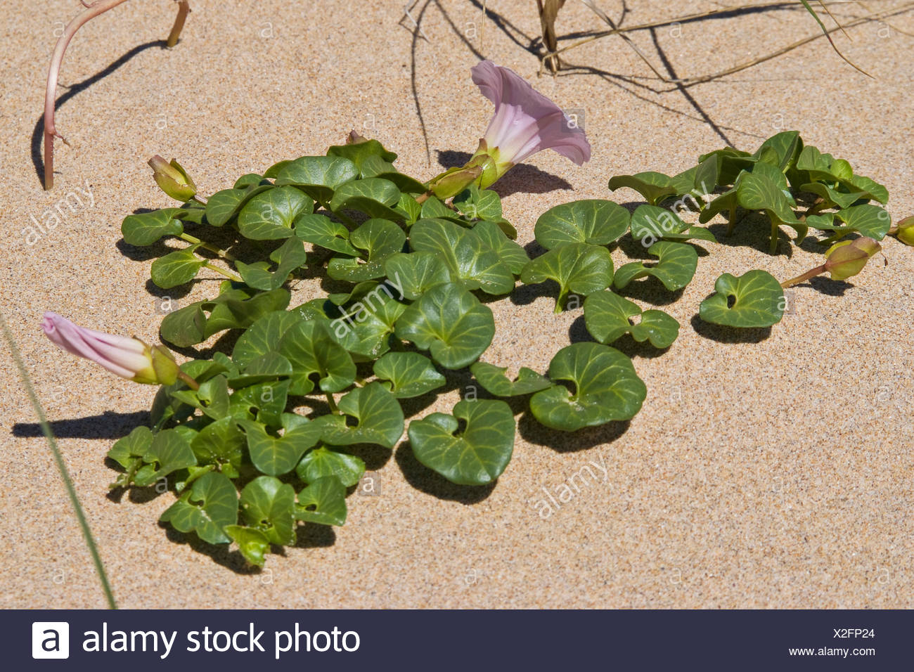 Beach morning-glory, Sea bindweed, Seashore false bindweed, Seashore morning-glory (Calystegia soldanella), blooming on the beach, Netherlands - Stock Image