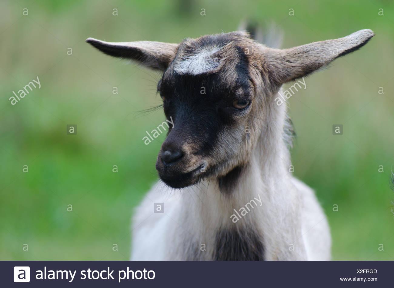 A portret of funny black-white goat kid - Stock Image