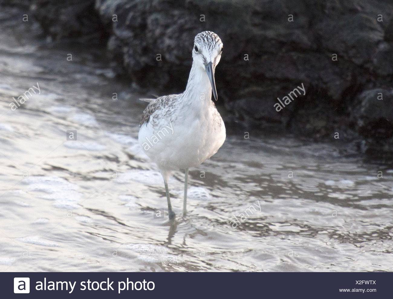 Common greenshank Stock Photo