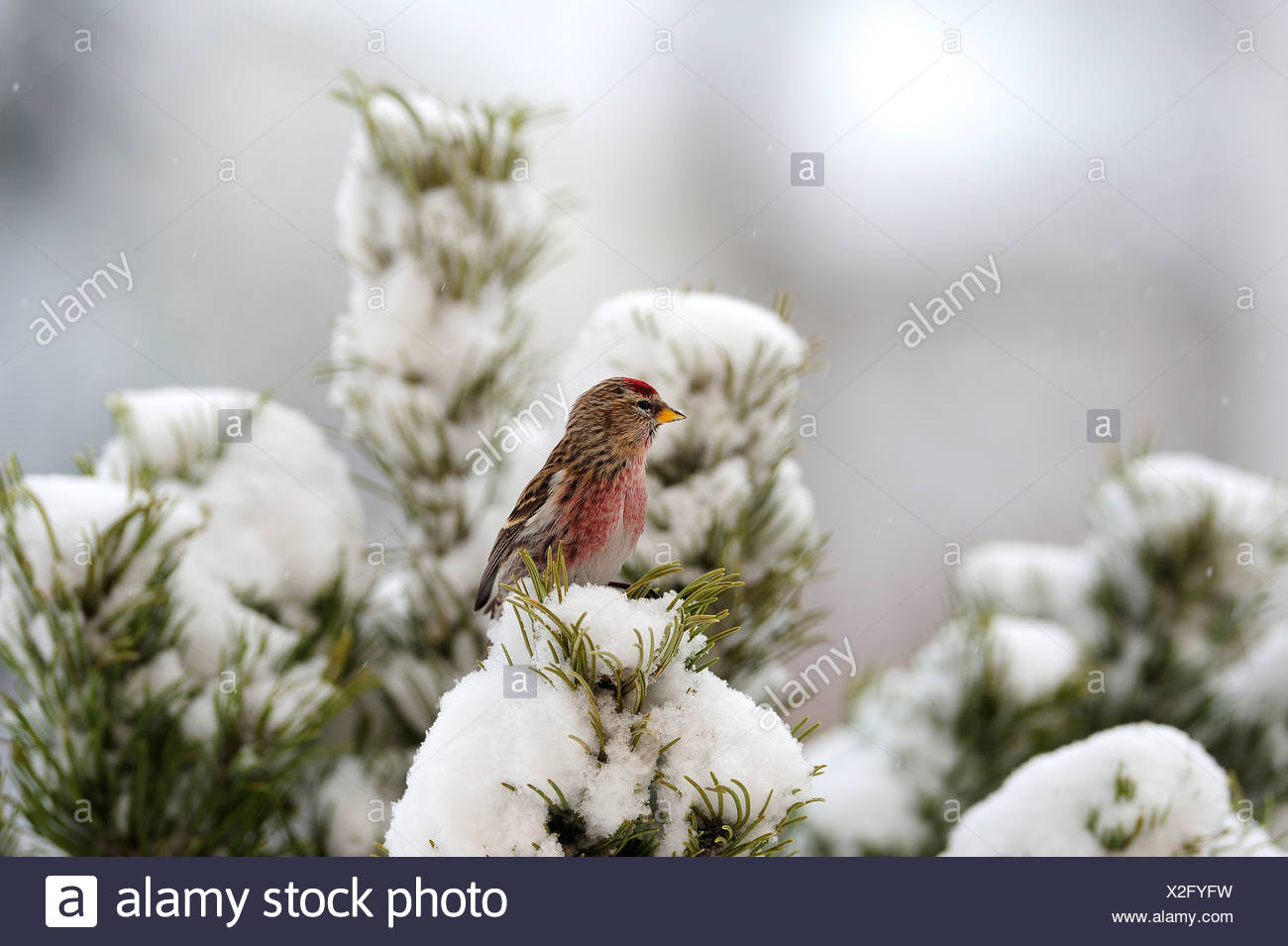 Side view of redpoll in snow against blurred background - Stock Image