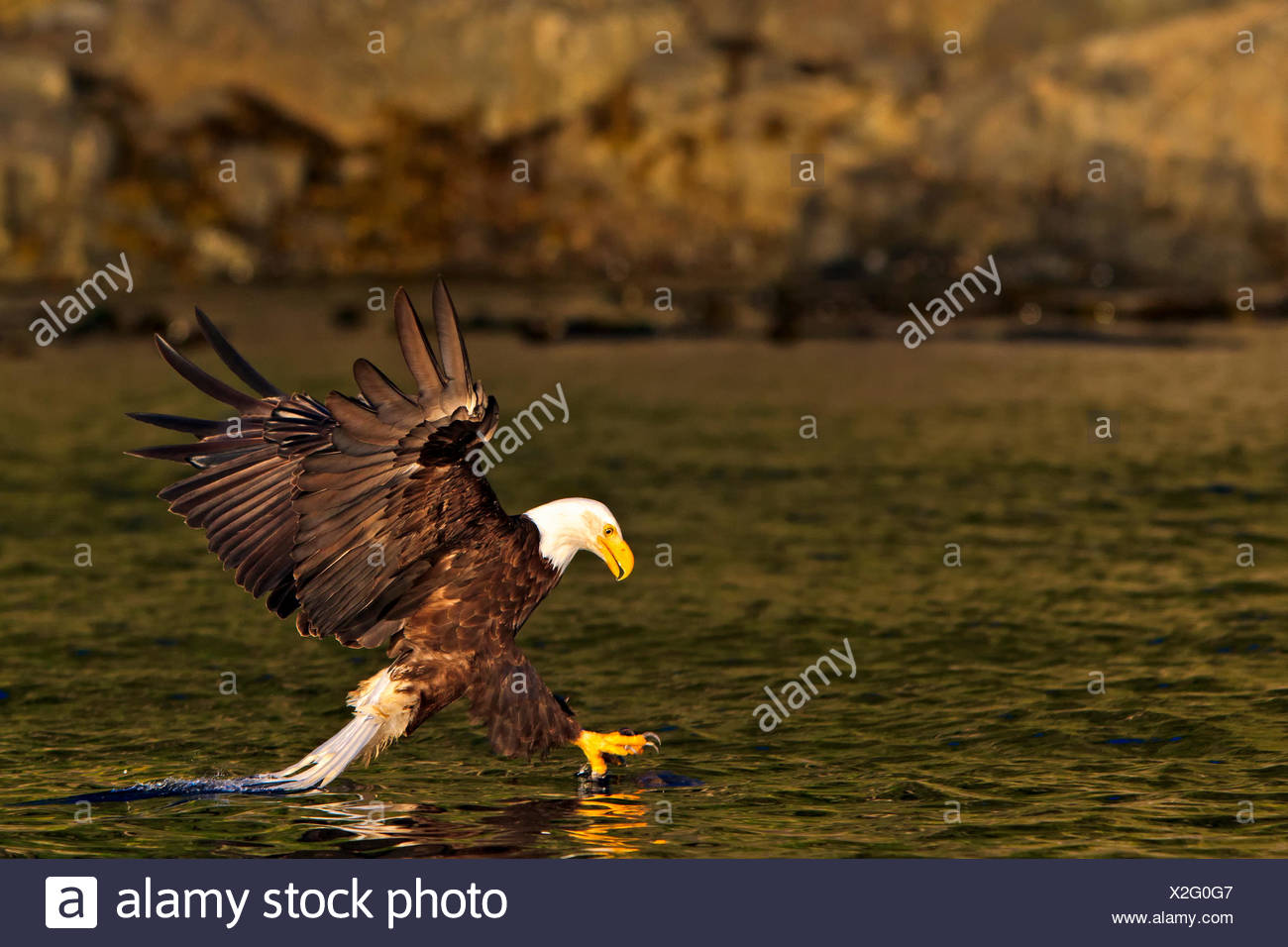Bald eagle hunting and catching a fish, British Columbia, Canada. - Stock Image