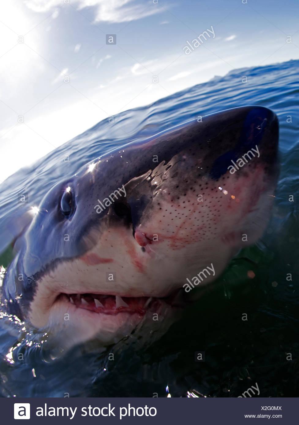 Great White Shark Carchardon Carcharias False Bay South Africa