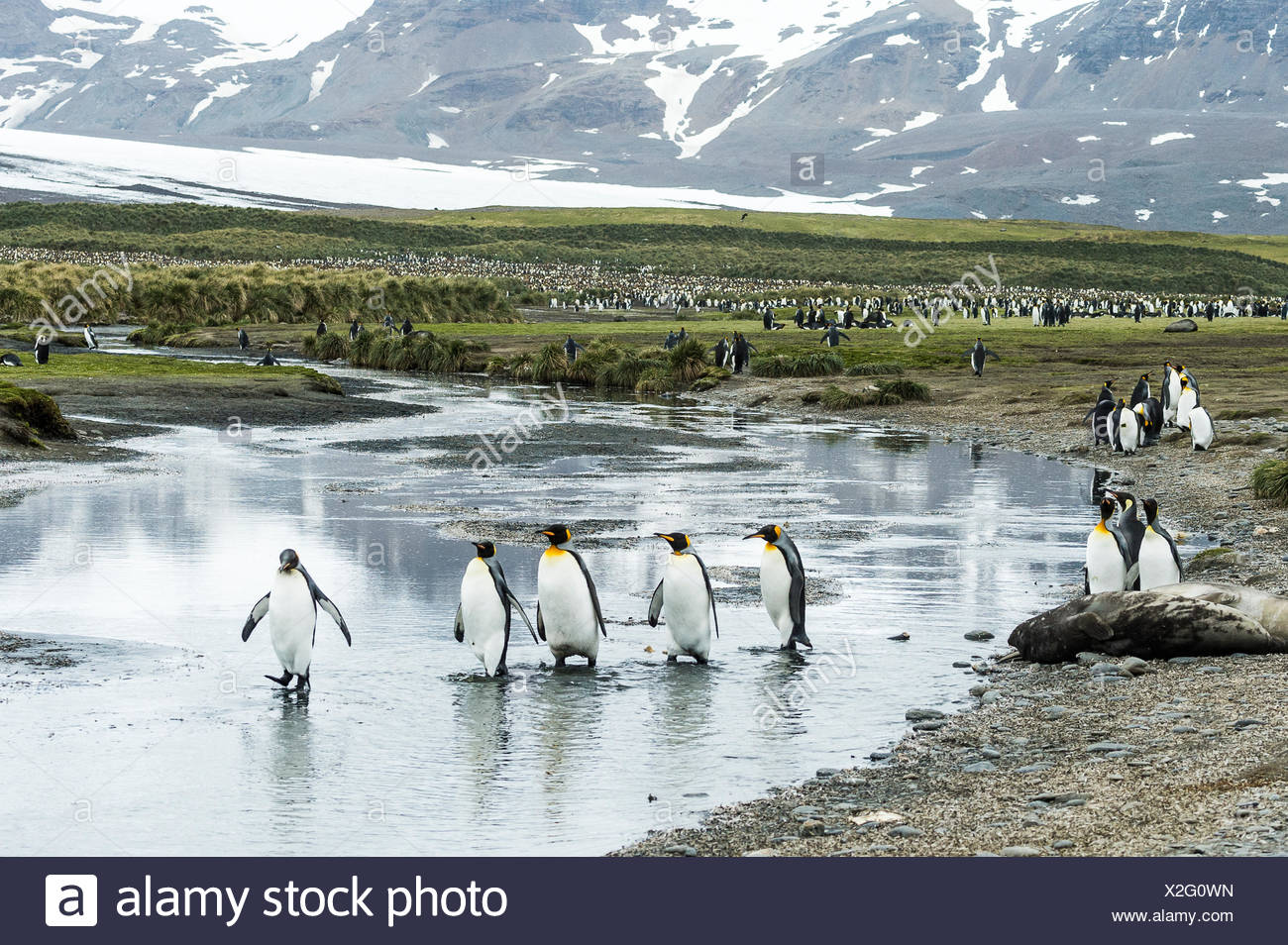 King penguins (Aptenodytes patagonicus) wading in shallow water; South Georgia, South Georgia and the South Sandwich Islands, United Kingdom - Stock Image