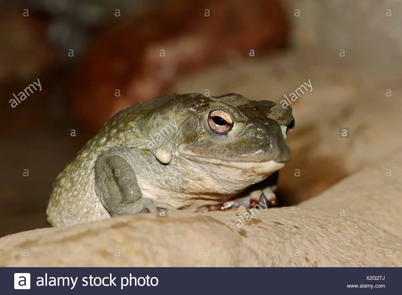 Sonoran Desert Toad (Bufo alvarius), native to the Southwestern United States and Mexico, captive - Stock Image