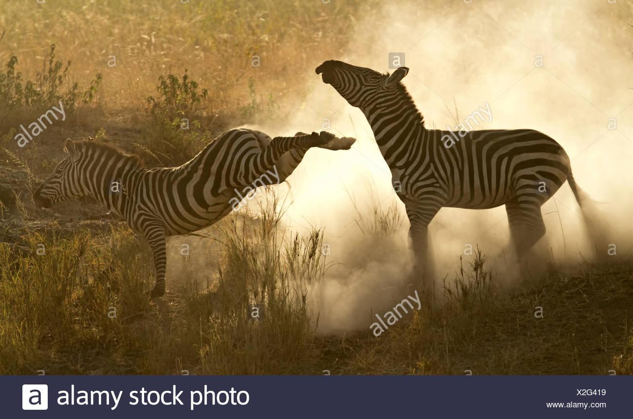 Plains Zebra (Equus quagga) in a dominance fight with dust flying, Lake Magadi, Serengeti, Tanzania. - Stock Image