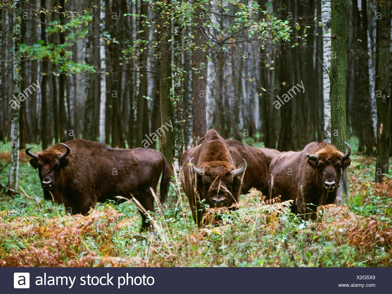 European Bison, Prioksko-Terrasnyy Reserve, Russia - Stock Image