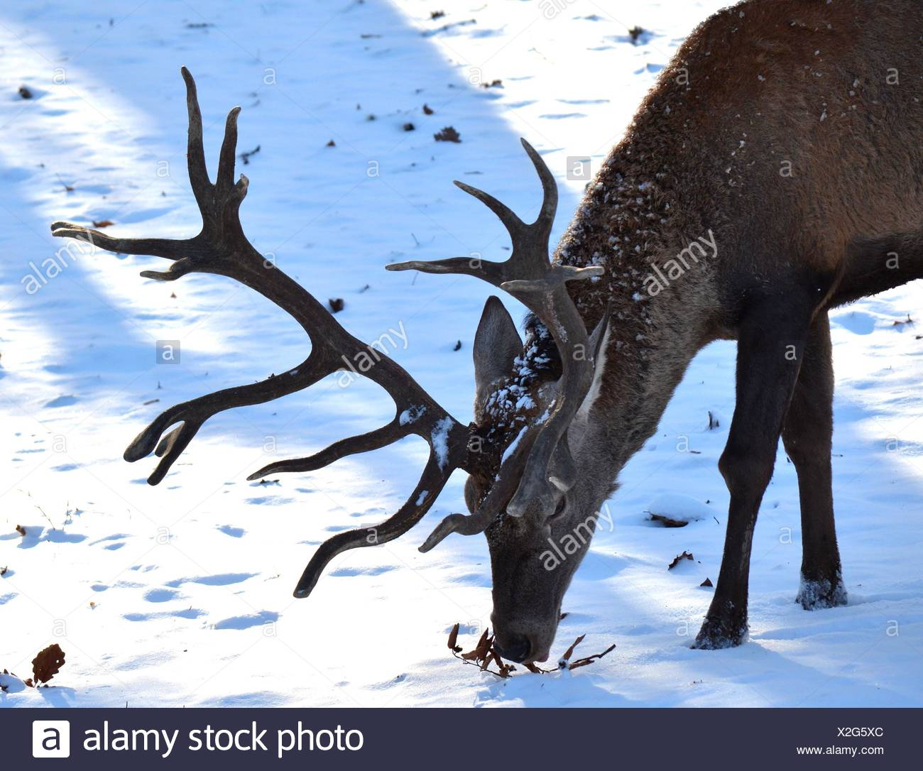 stag Stock Photo
